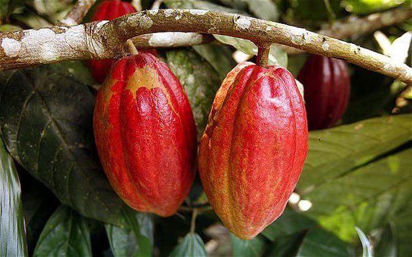 نشست دو رئیس جمهور برای حل مشکل کاکائو/ آسیب افت قیمتها به صدها هزار کشاورز خردهپا