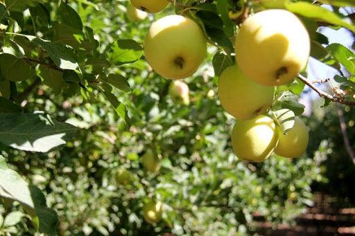 افزایش برداشت سیب در دماوند به ۴۰ تن در هکتار