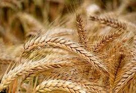 گزارشی از قاچاق گندم در استان سمنان در سال زراعی جاری دریافت نشد