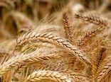 کاشت گندم در قالب نظام زراعی گندم بنیان