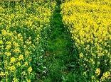 پیشبینی کشت بیش از ۴۵۰ هکتار کلزا در اراضی شهرستان بجنورد در سال زراعی جاری