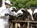 واکسینه شدن ۲۴ هزار راس دام شامل سبک و سنگین در کاشان