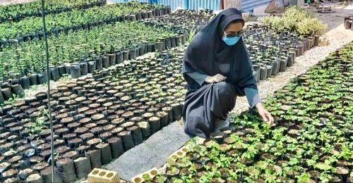 تولید نهال گیاهان دارویی مورینگا در لارستان