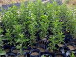 اصلاح ، احیاء و جایگزینی باغات یکی از مهمترین اهداف سازمان جهاد کشاورزی خراسان شمالی است