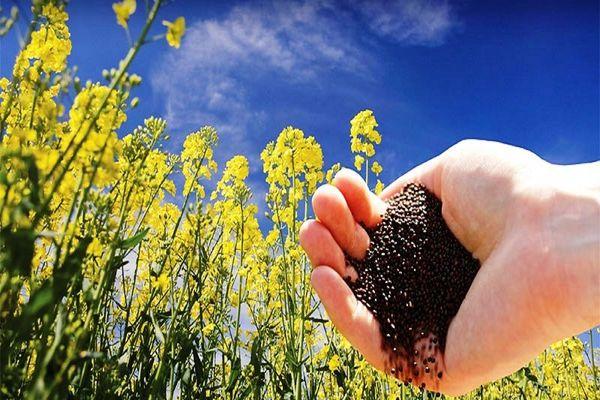 بیش از ده هزار کیلوگرم بذر کلزا در بین کشاورزان استان تهران توزیع شد