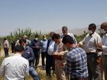 مقایسه چهار رقم گندم در قالب طرح PVS در مزارع کشاورزی شهرستان دماوند