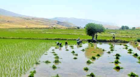 پیشبینی برداشت بیش از ۵ تن برنج در هر هکتار از شالیزارهای سیروان