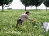 پایان مبارزه با سن مادر در 32 هزار هکتار از مزارع کشاورزی استان قزوین