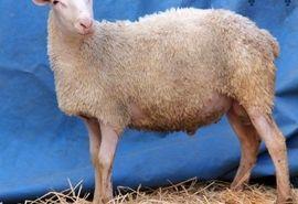 بازدید مسئول حوزه نمایندگی ولی فقیه در سازمان جهاد کشاورزی استان کرمان از طرح درحال احداث گوسفند پرتولید رومن با محوریت شعارسال