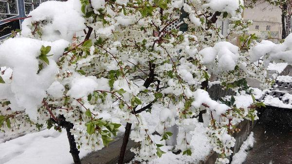 زمستان بهاری، شکوفهها را شوکه کرد