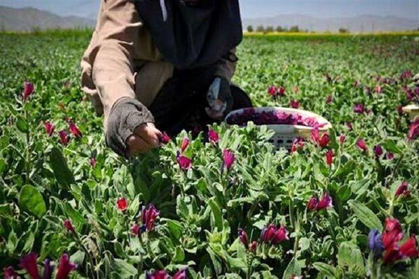 راه اندازی سامانه بازارگاه گیاهان دارویی برای نخستین بار در خوزستان