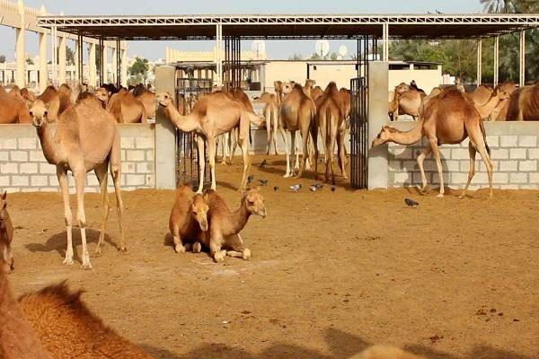تاسیس نخستین تعاونی شترداران در استان خوزستان
