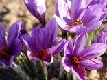 خرید ۱۲ میلیارد تومان زعفران از کشاورزان خراسان جنوبی