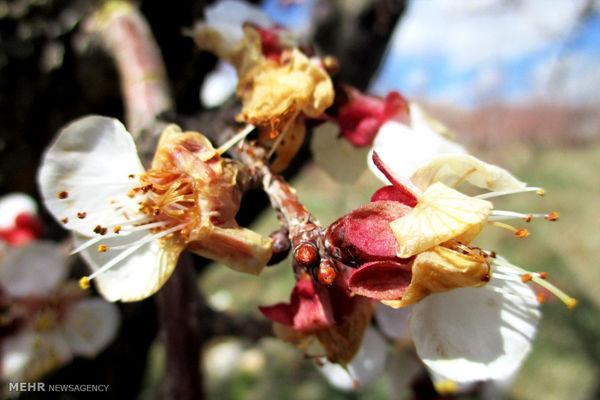 سرمازدگی در باغات زردآلو و بادام شهرستان بروجن