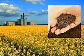 خرید تضمینی بیش از 3500 تن دانه روغنی کلزا از زارعین آذربایجان غربی