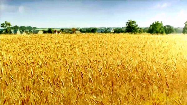 برداشت3هزار  تن محصول جو از مزارع شهرستان ارزوئیه