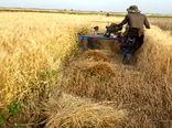 رکوردشکنی کشاورز درهبیدی در برداشت جو