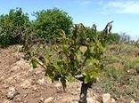 25 درصد باغات زردآلوی استان سمنان تحت پوشش بیمه است