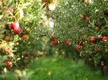 برداشت سیب درختی از باغات چهارمحال و بختیاری