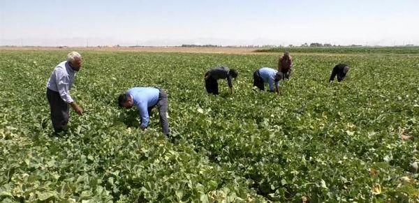 فصل برداشت صیفی از هزار و ۲۰۰ هکتار از مزارعِ برخوار