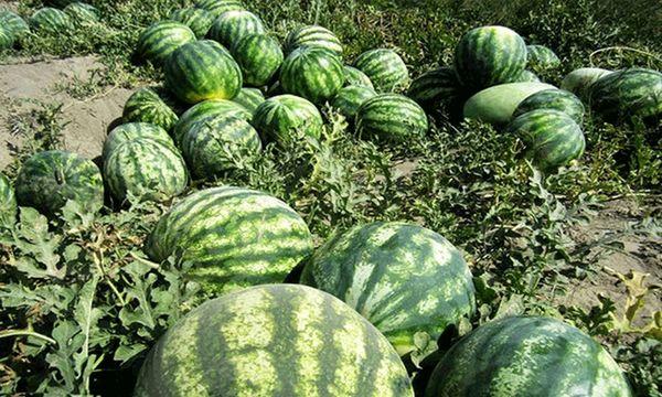 کشاورزان ابرکوه به جای هندوانه گیاهان کم آبخواه کشت کنند