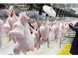 تولید 540 میلیاردی گوشت مرغ در بابل