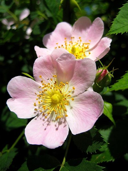 گل نسترن برای نخستین بار در مرودشت کشت شد