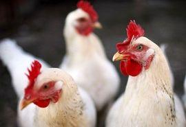 خرید بیش از ۷۰۰ تن مرغ مازاد از مرغداران استان گیلان