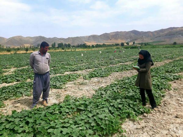 آغاز برداشت خیار در شهرستان شیروان