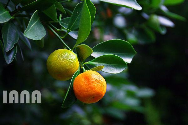 کشت و برداشت نارنگی در باغات مازندران