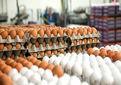 توزیع گسترده تخم مرغ در مراکز عرضه از امروز