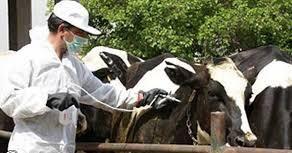 آغاز اجرای برنامه واکسیناسیون همزمان بیماری لمپیاسکین در سطح دامداریهای آذربایجان غربی