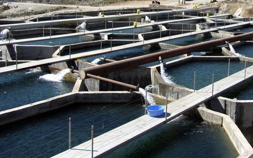 27 مزرعه پرورش ماهی سردآبی آذربایجان شرقی امسال مکانیزه شد