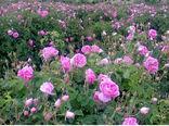 پیش بینی برداشت  ۳۲۴ تن گل محمدی در خراسان شمالی