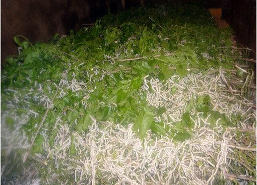 توزیع 59 جعبه تخم نوغان در شهرستان خداآفرین