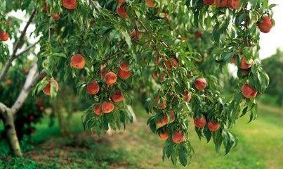 تولید 24هزار تن انواع محصولات سردرختی در شهرستان کوثر