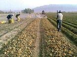 فروش قراردادی تولیدات کشاورزان خراسان شمالی ناچیز است