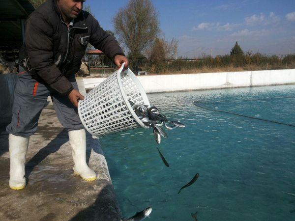 2 میلیون و 650 قطعه بچه ماهی قزلآلا در استخرهای قزوین رها سازی شد