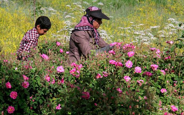 پیشبینی برداشت 80 تن گل تر از گلستانهای شهربابک