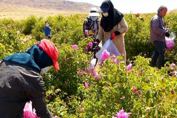 گُل محمدی در سمیرم جایگزین کشتهای پر آب