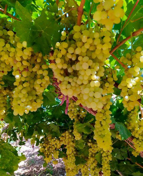 برداشت انگور از تاکستان های شهرستان سامان