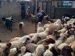 آغاز واکسیناسیون رایگان بر علیه بیماری آبله گوسفند و بز در شهرستان چوار