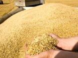 خرید گندم مازاد بر نیاز کشاورزان از 1 میلیون و 100 هزار تن گذشت