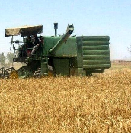 برداشت غلات از کشتزارهای شیروان آغاز شد