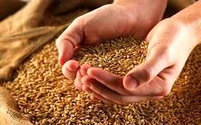 تولید سالیانه ۸ هزار تن بذر اصلاح شده گندم در کبودراهنگ