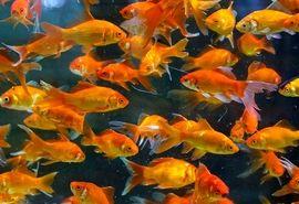 کاشان بزرگترین تولید کننده ماهیان زینتی کشور