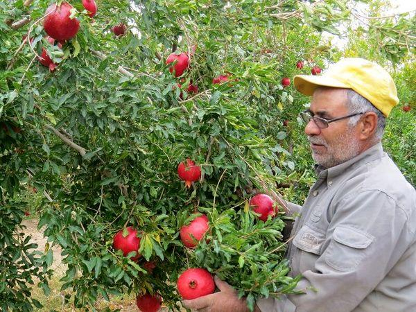 تولید انار در ابرکوه ۱۰ درصد کاهش دارد