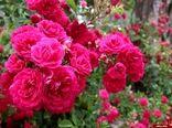 آغاز برداشت گل محمدی از گلستانهای نایین