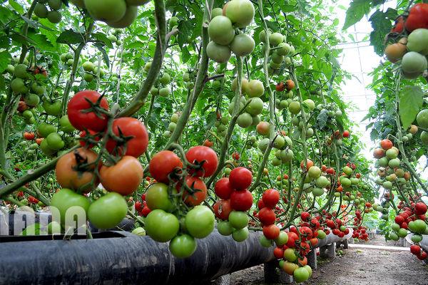 پرورش گوجهفرنگی در گلخانه
