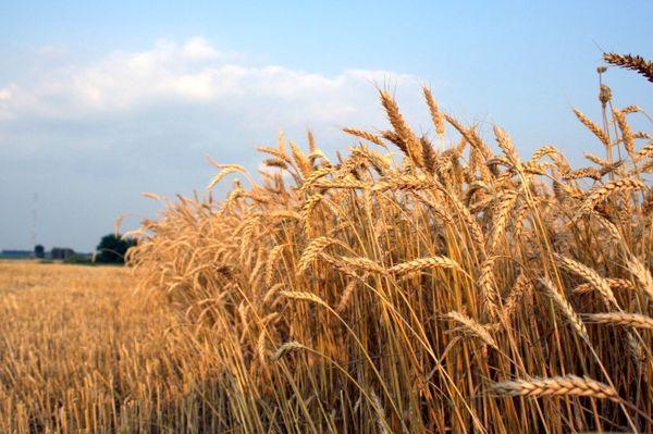 کشت گندم در 6 میلیون هکتار از اراضی کشاورزی